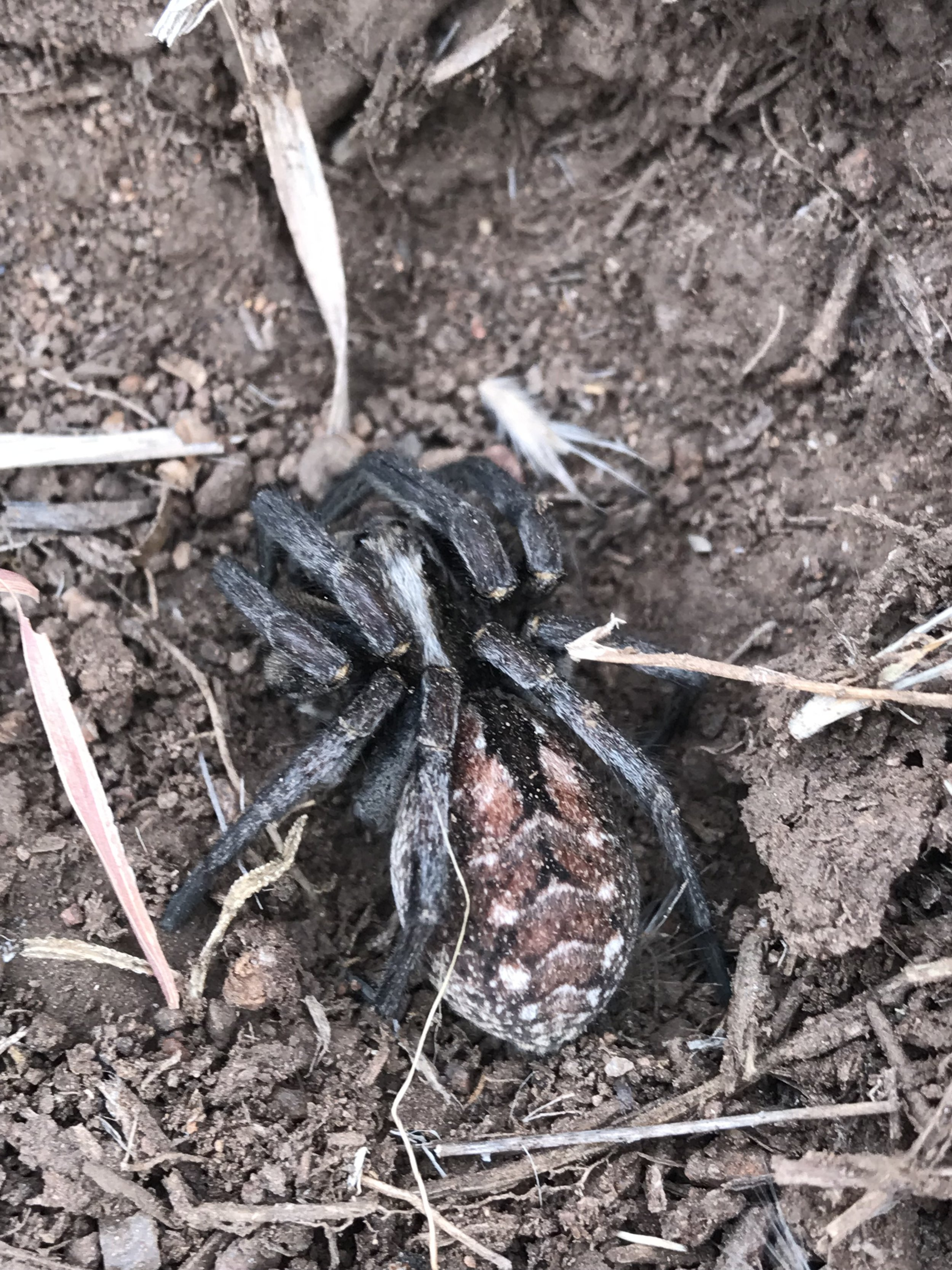 We found this super cool spider under a rock while gathering rocks for trail cairns. He is about an inch and a half long.