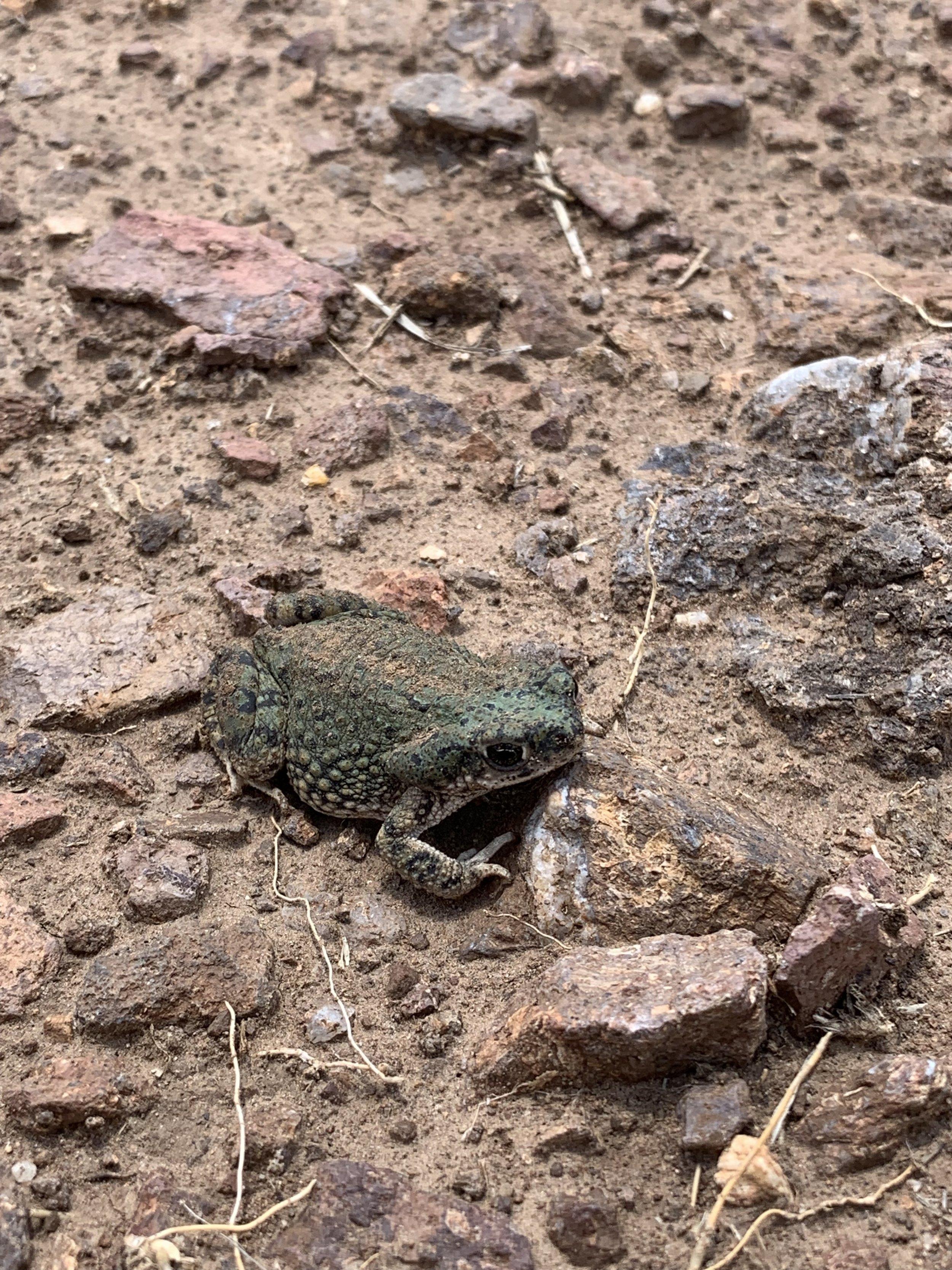 A Texas Toad