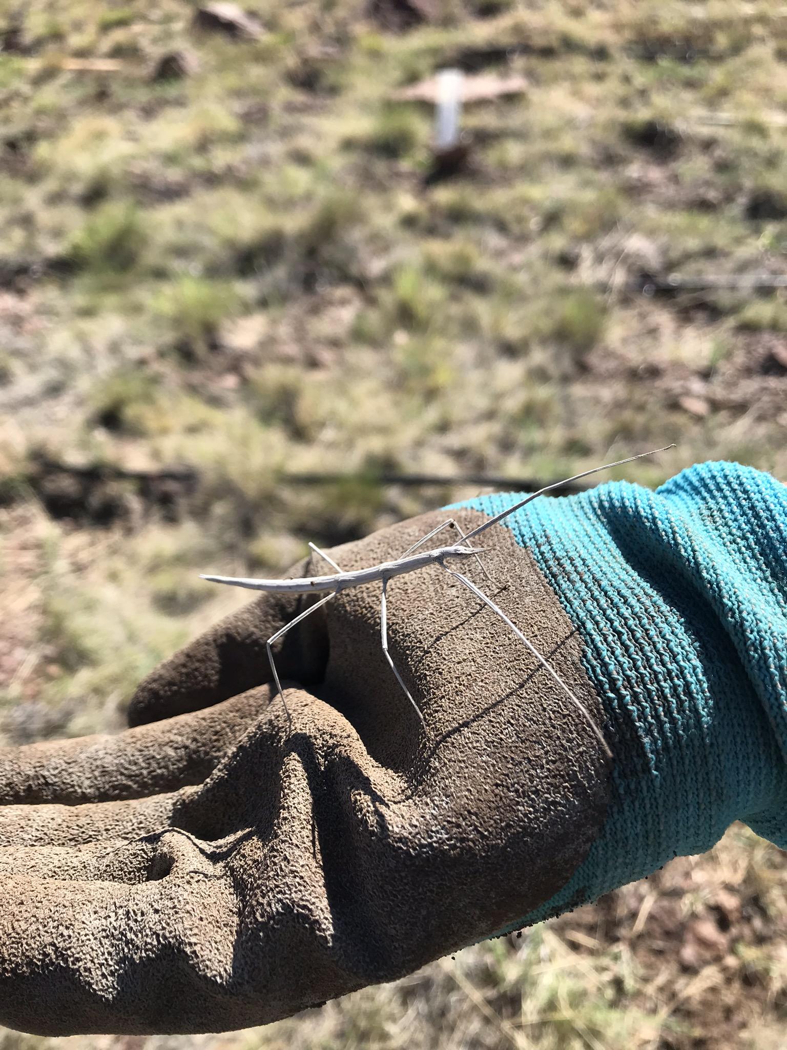 A cool stick bug!