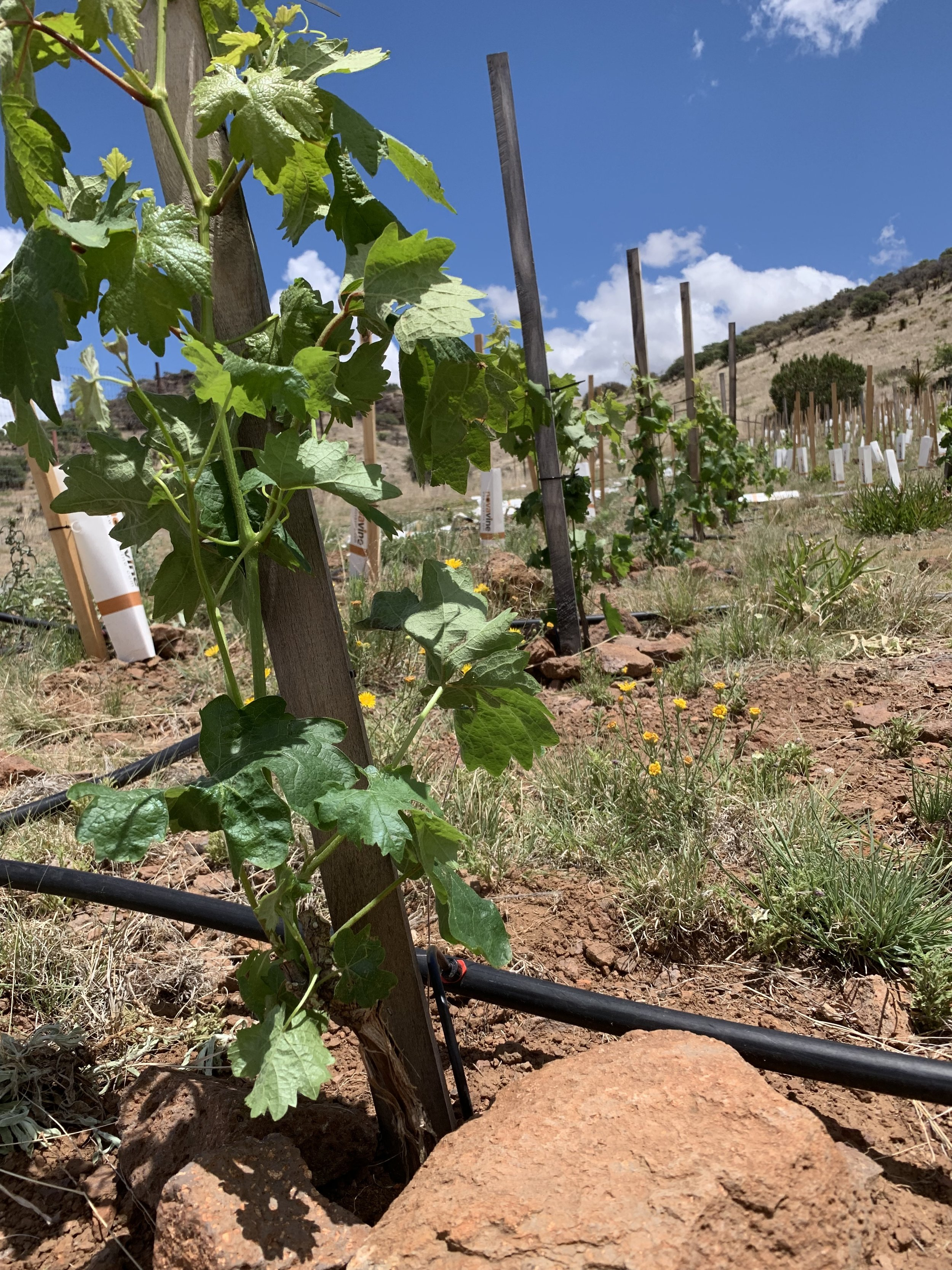 The few vines planted in 2018 and now in their second year grew quite vigorously this spring.