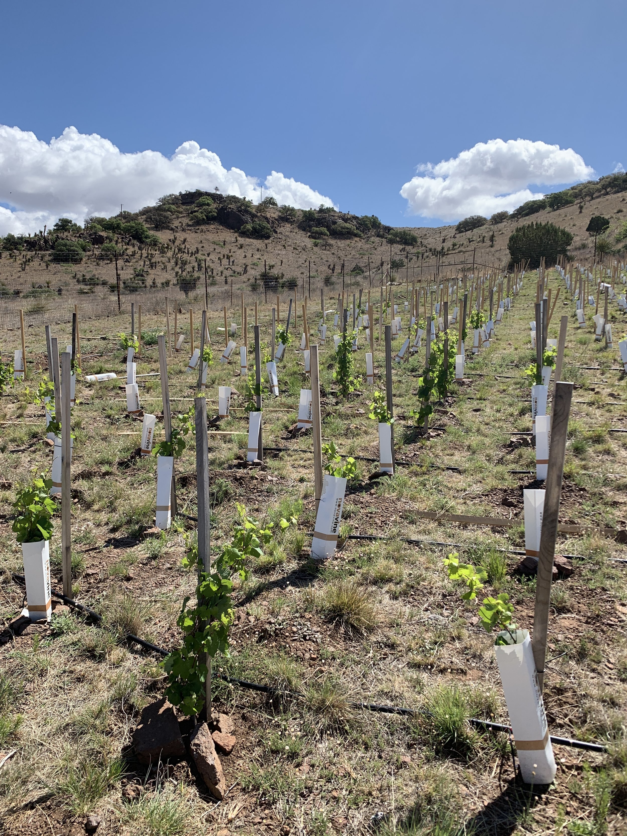 """I like to refer to this area of the vineyard as """"the garden"""" because it has very short rows. This was also the area with the highest success rate during the 2018 planting."""