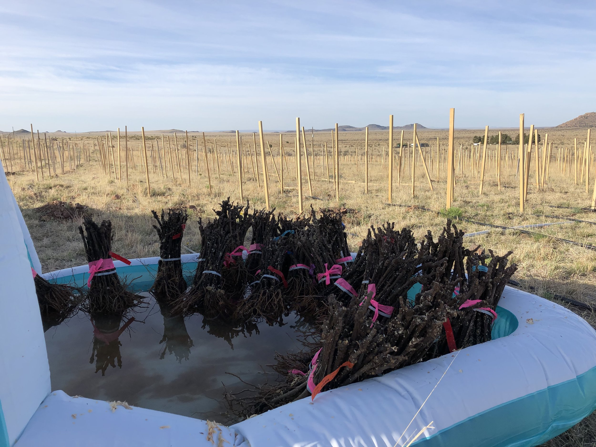 This year we used an inflatable swimming pool to keep the vines nice and moist. We took each shipment of vines directly from the truck and put them strait in water until it was time for them to go into the ground.