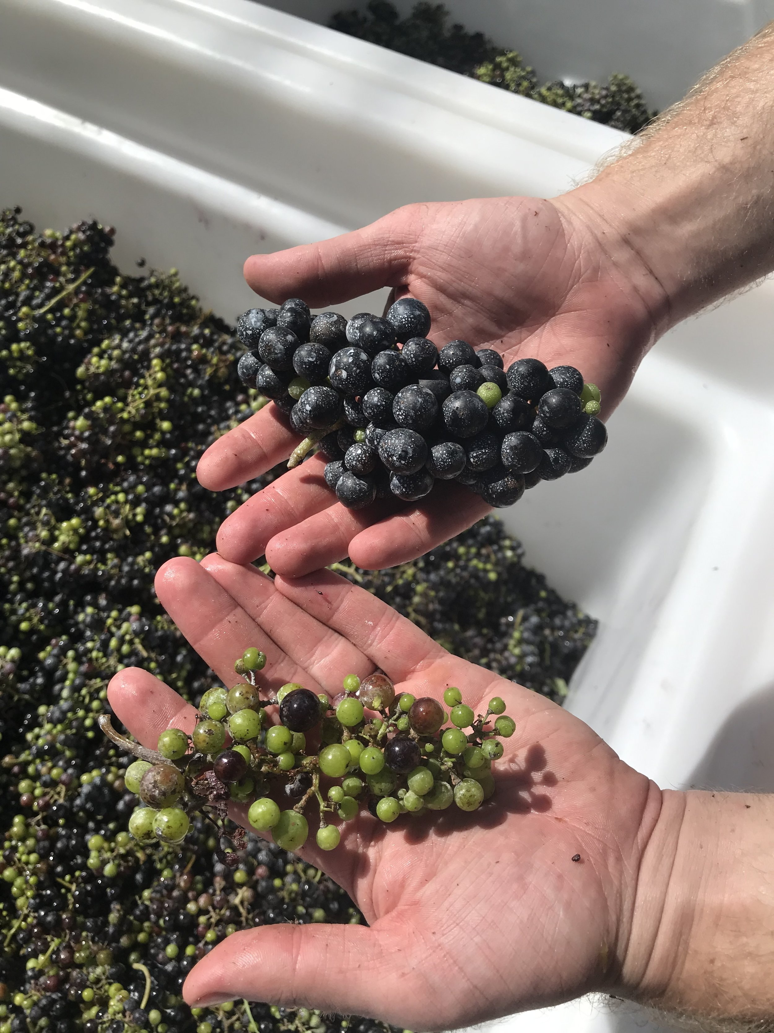We had a lot of green fruit when we harvested. We got a lot of strange looks from onlookers while we were crushing the fruit. Even these clusters that were almost 100% green had flavors that we wanted.