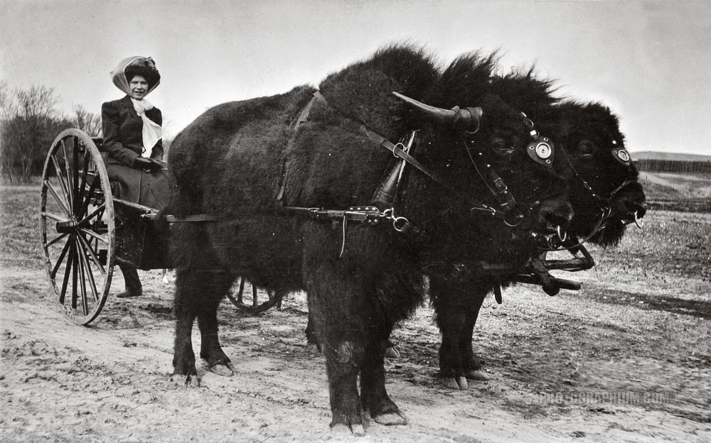 a_daring_act._woman_on_cart_drawn_by_two_bison._1910.jpg