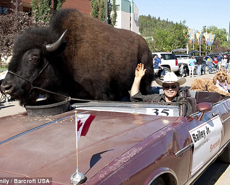 Somehow this wound up in our 2016 files and we liked it. Read more about  Bailey the Buffalo !