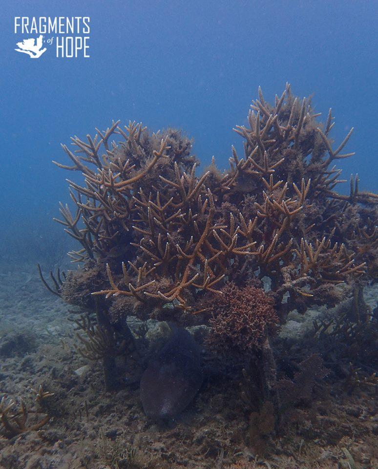 Mature Corals