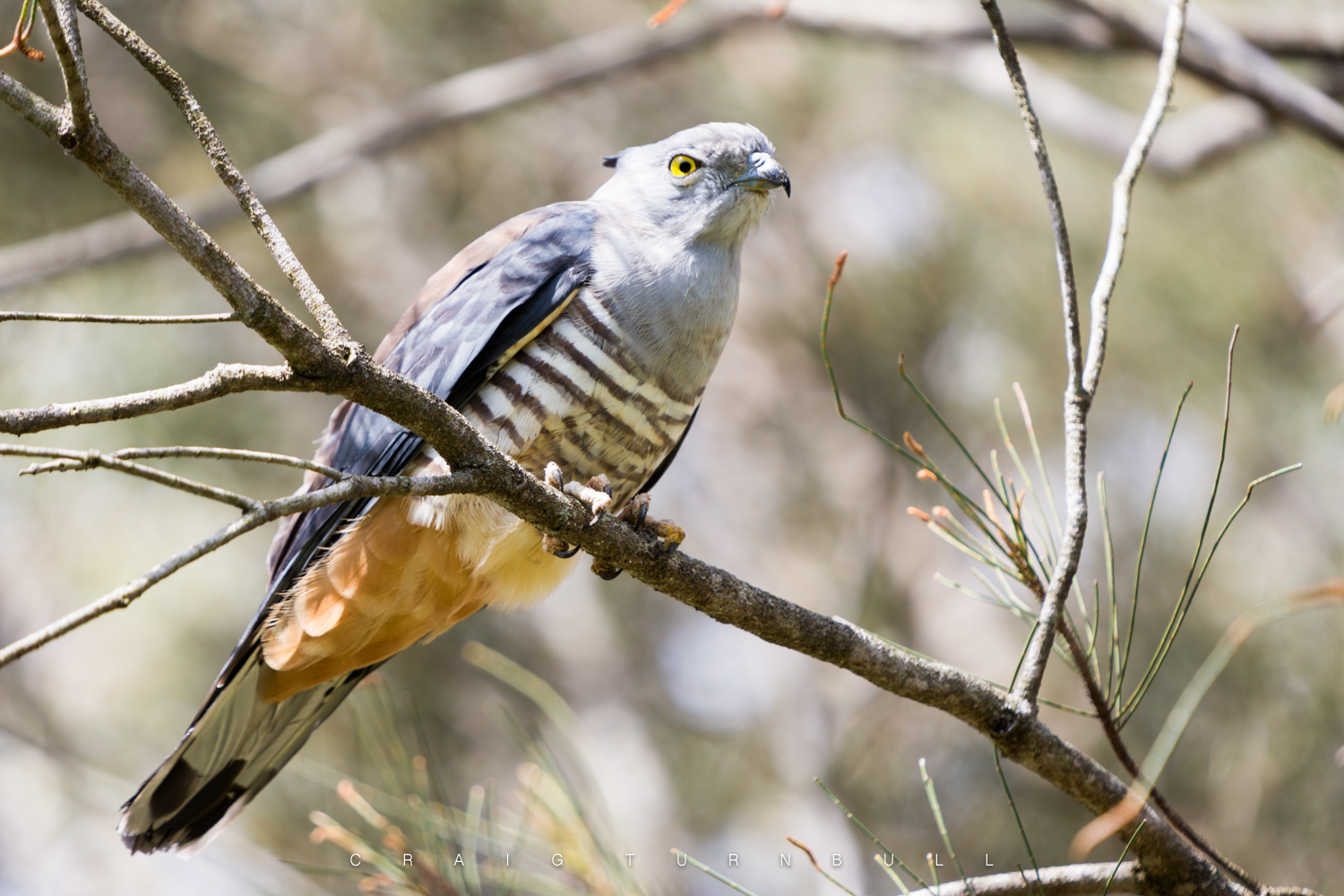Pacific Baza - (Crested Hawk) Was hiding in a tree and trying to fend off myna birds attacking it.