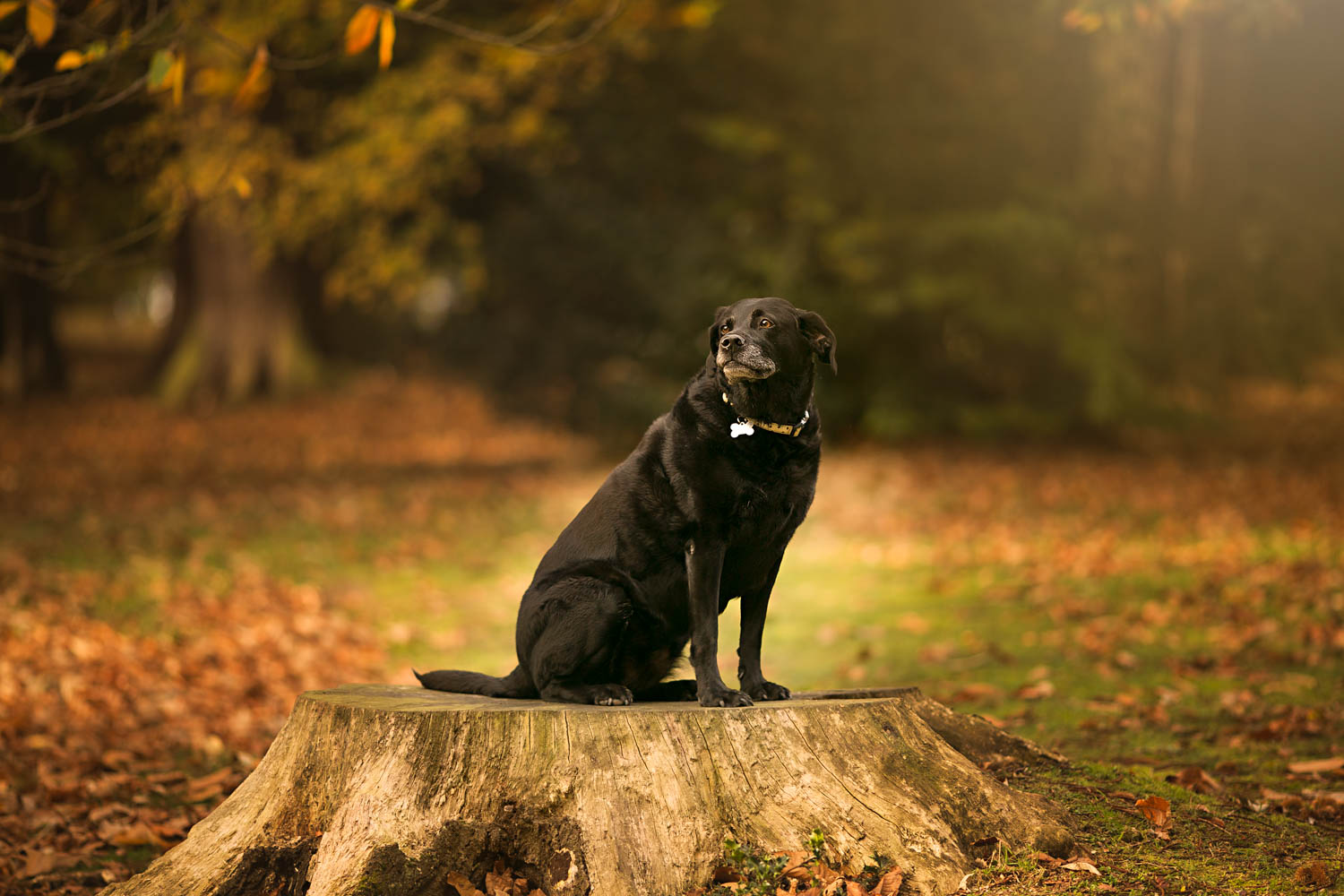 Black Labrador dog pet portrait taken during Autumn family photoshoot in Ampthill Park, Bedford.
