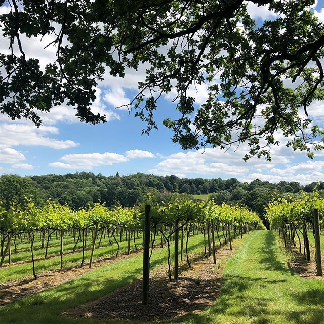 No we're not in France - this is a glorious 6-mile hike around Penshurst in Kent! Just look at the vines and the views... #kent #kentgardens #kentvineyard #penshurst #penshurstplace #penshurstwalk #kentcountrysidewalks #hikinginkent