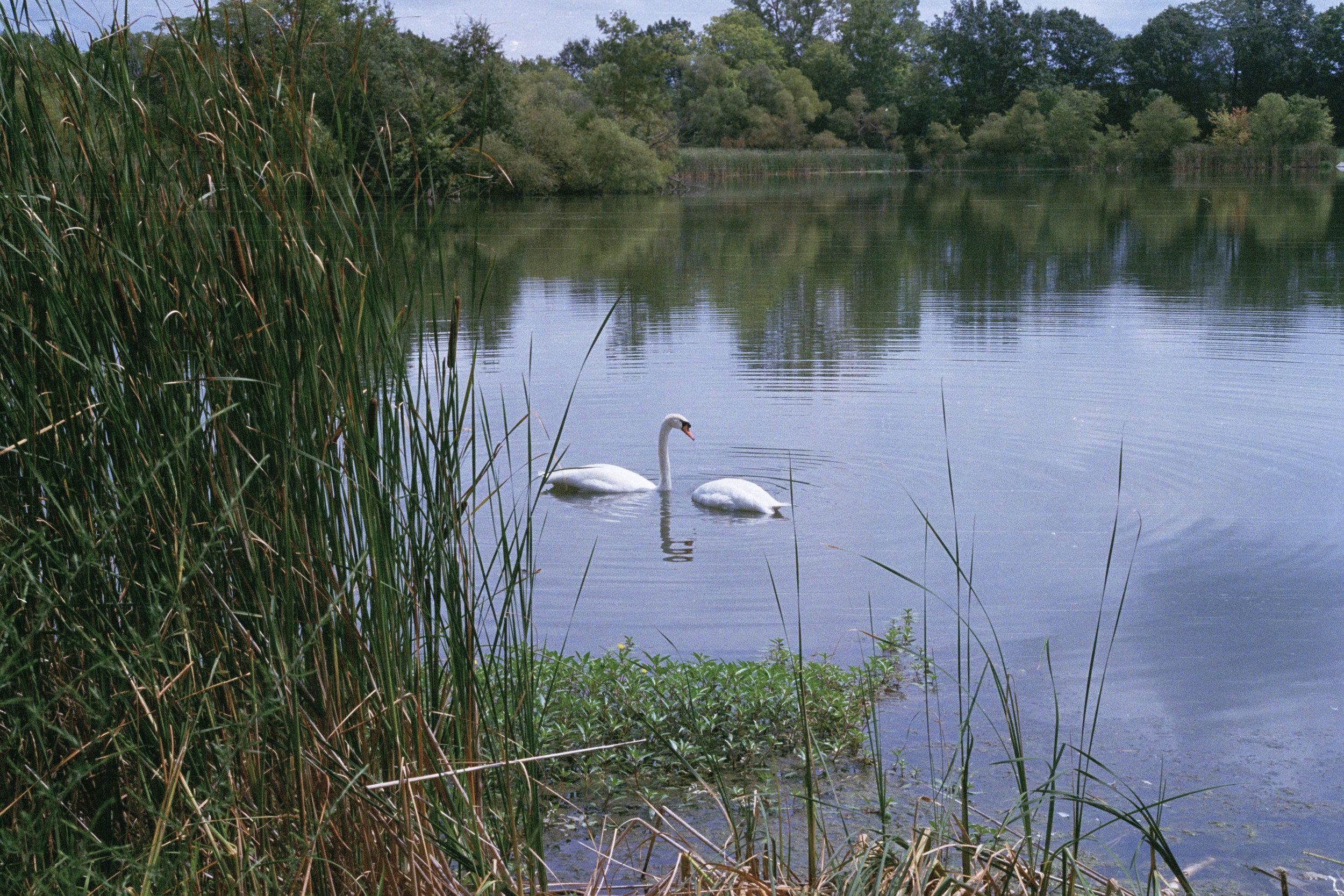 (edit)Swan2 001.jpg