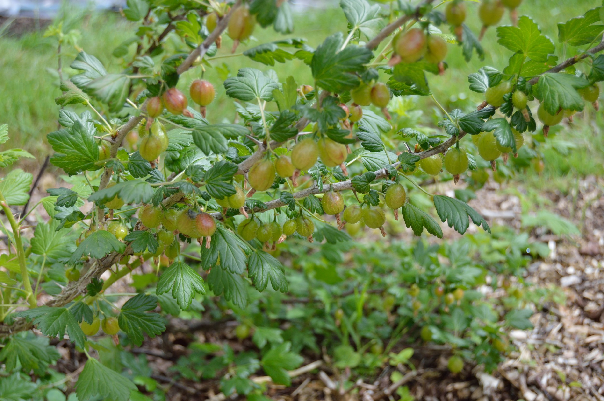gooseberries_01.JPG