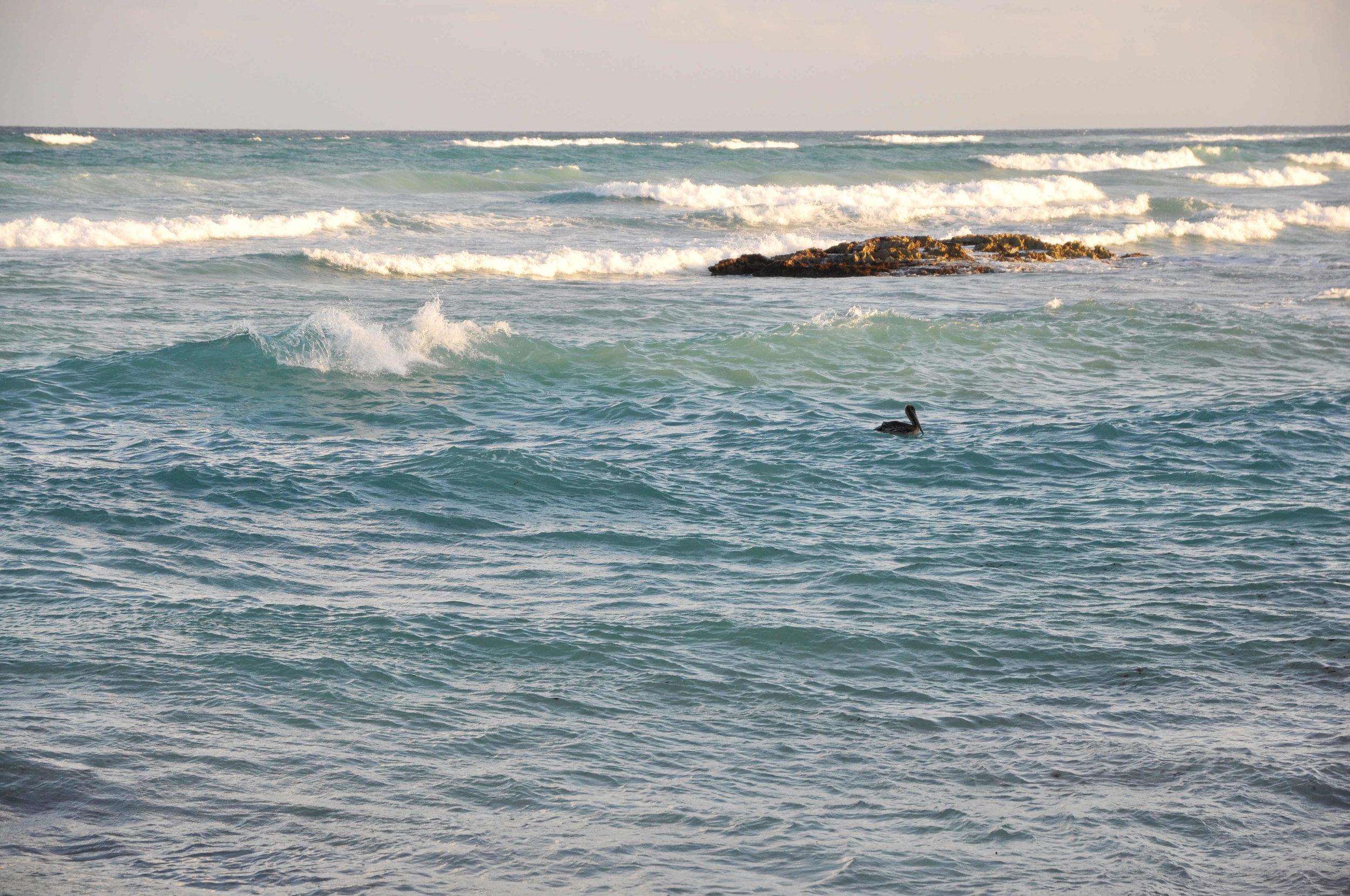 Pelican chilling in Tulum's sea