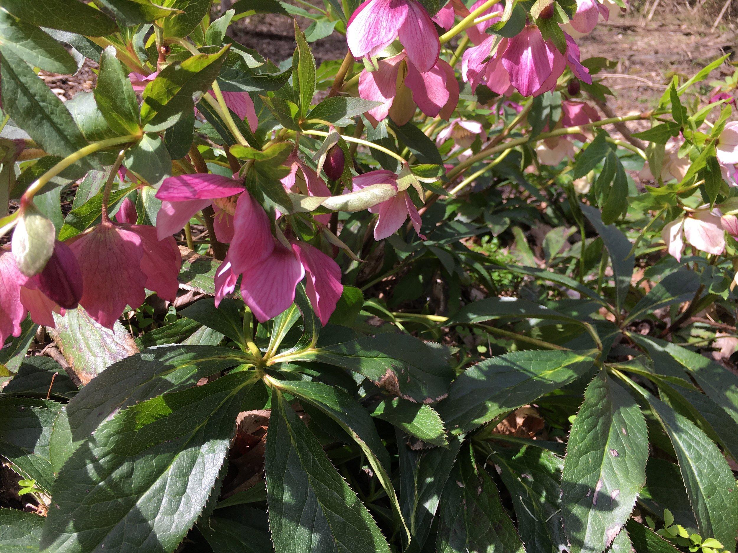 Hellebore, aka Lenten Rose, comes in many subtle colors. -