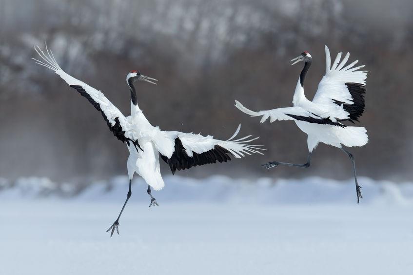 cranes+dancing+purchased.jpg