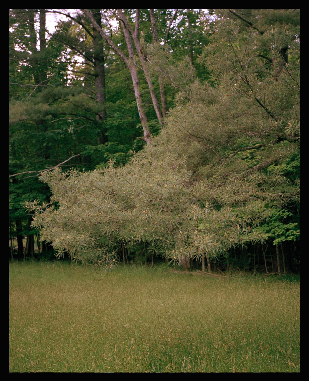 pine_better_scan.jpg