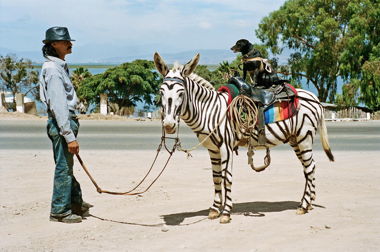 Albino donkey painted as zebra with dog