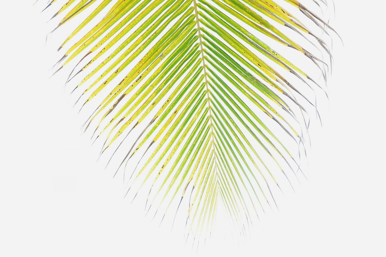 Isla-Verde-Palm-Tree-Image