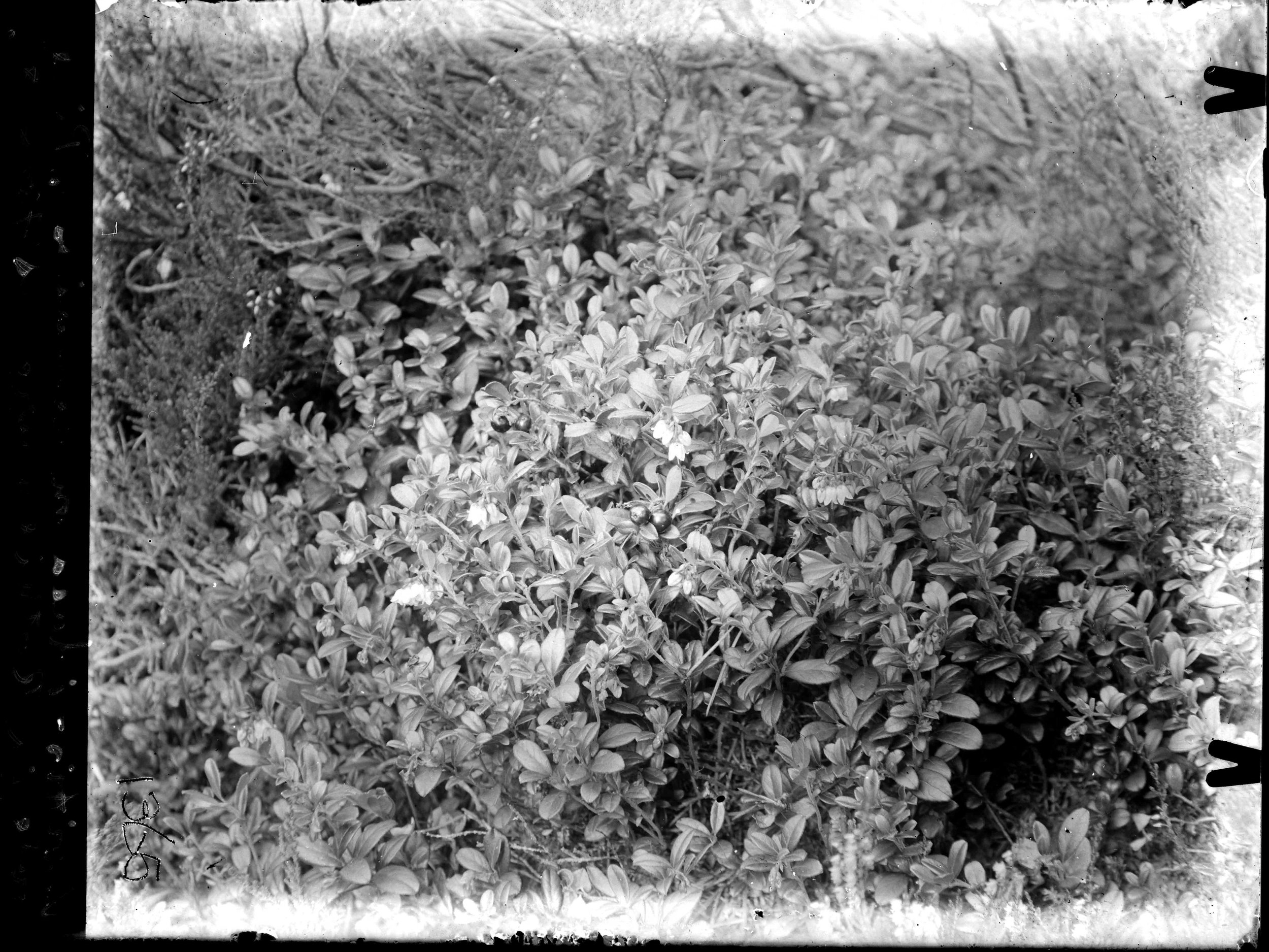 3_EJS_V.-vitis-idaea-on-remains-of-pine-bole-in-Rothiemurchus-forest_1365_mini.jpg