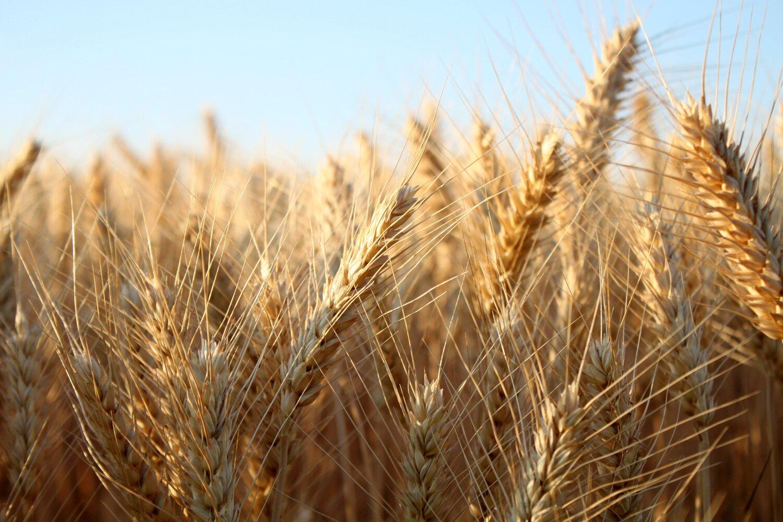 Barley-Field (1).jpg