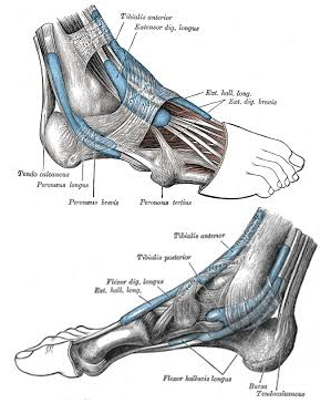 Day of the Lower Leg, Ankle & Foot -