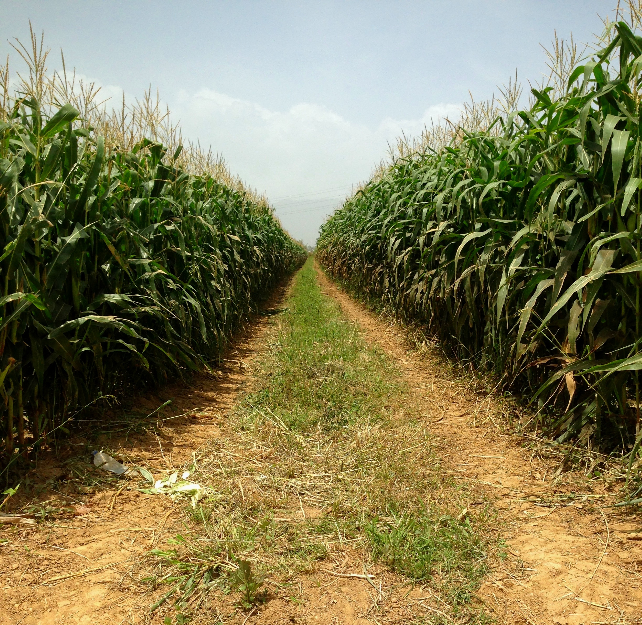 Rows of corn, Warrenville, Cunupia