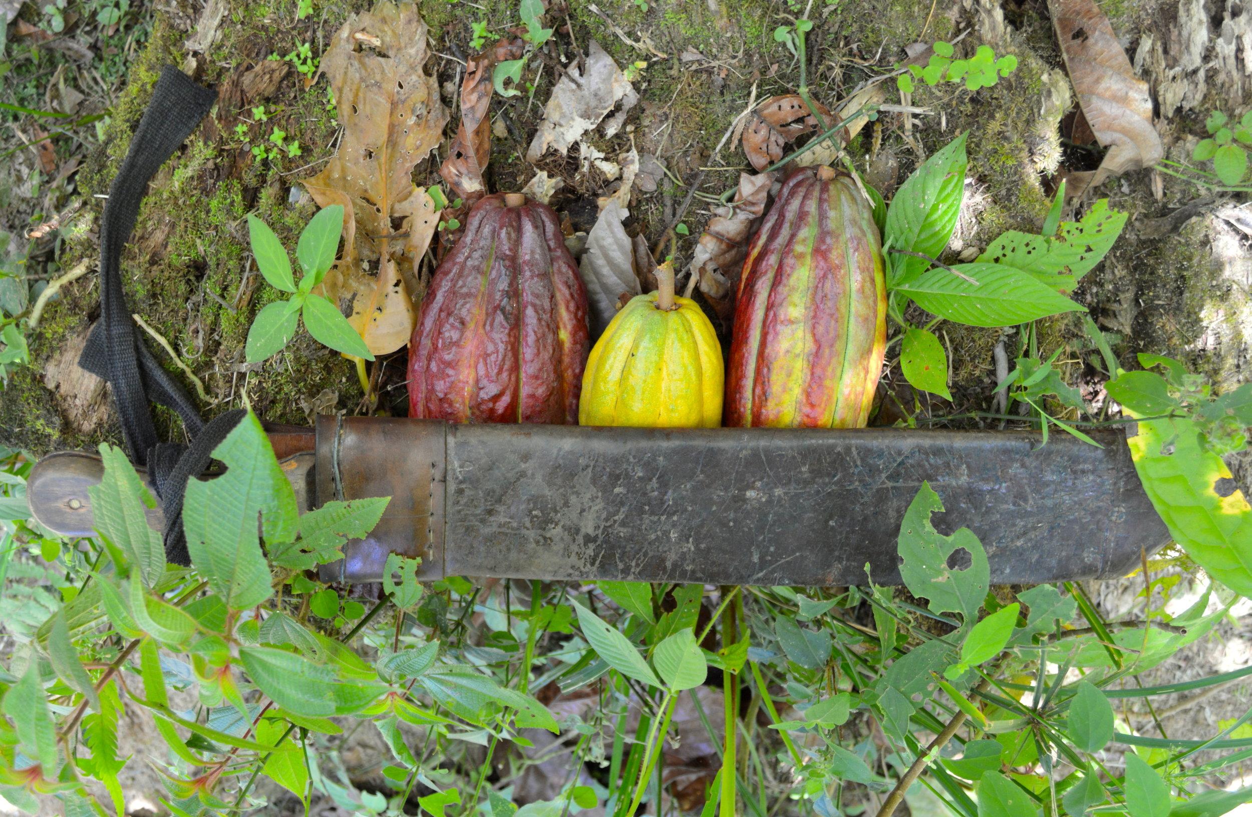 Trinitario and Criollo cocoa pods