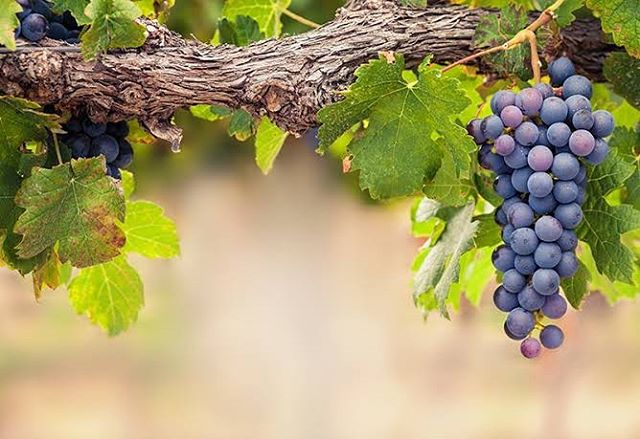 At Tallarook we hand harvest, to ensure only the best grapes making it from farm to table.
