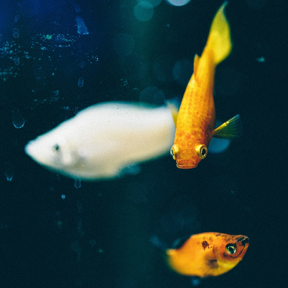 Yellow and white mollies