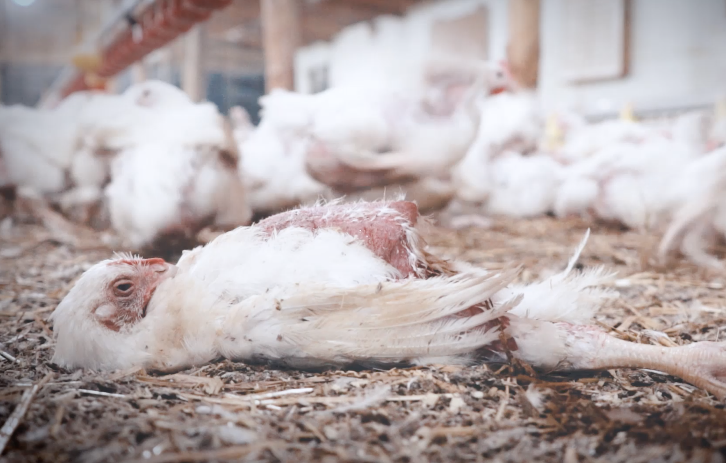 """THIS IS NOT JUST FOOD, THIS IS M&S FOOD."" - Marks & Spencer chicken farming exposed"