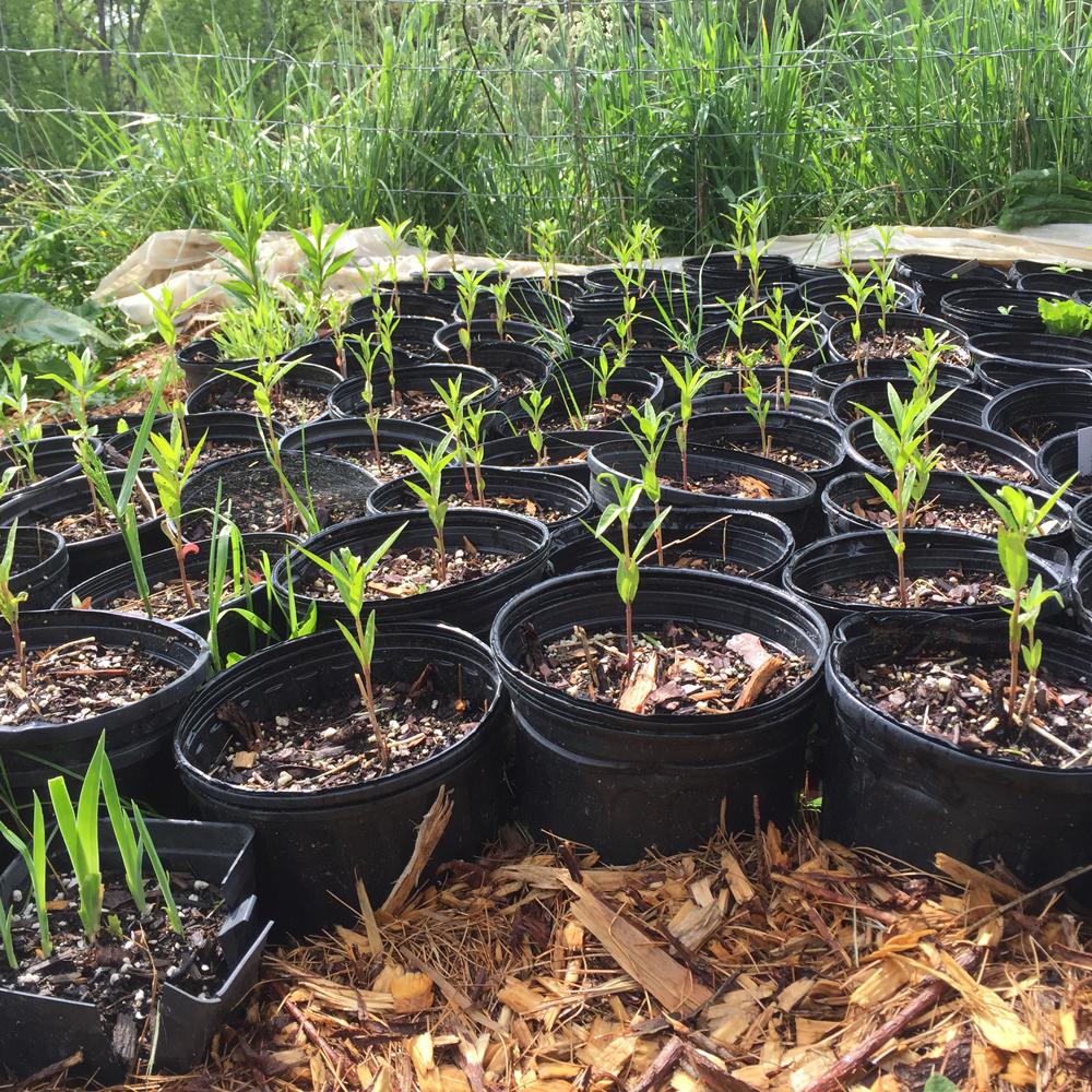 milkweed-seedlings.jpg