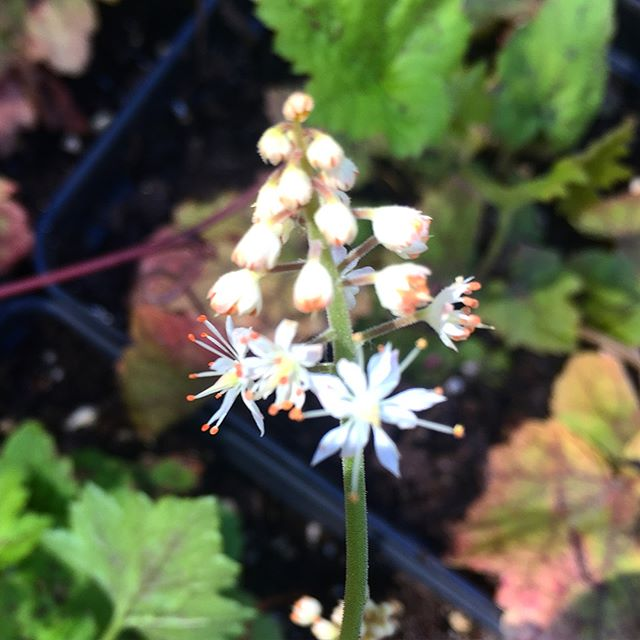Our Tiarella cordifolia- or Foam flower- are starting to bloom!  The early spring blooming member of the saxifrage family has a spreading/groundcovering habit and is usually found in rich woodlands.  The foliage is also quite beautiful, and has great fall color. Plant in clumps in shades areas in your landscape for a delicate and functional treat! #grownativeplants  #gardenforwildlife  #tiarellacordifolia  #foamflowers  #wildbudnatives