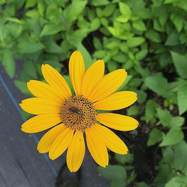 Our Heliopsis helianthoides, or false sunflower, is in full bloom!  This upright perennial tolerates full sun to part shade, and provides beautiful bloom throughout the mid and late summer.  With excellent benefit to pollinators, plant in clumps in the landscape or scattered amongst a savanna or meadow!  Available in gallons or quarts, contact us to order yours! Link in bio 🌞 • • • • • #wildbudnatives #plantforpollinators #nativeplants #gardenforwildlife #heliopsishelianthoides #pollinatorgarden #growsomethinggreen #flora #instaflowers #growyourown #plantstagram #plantsofinstagram #conservationnursery #daily #flowerstagram #greenthumb #grow #growforit