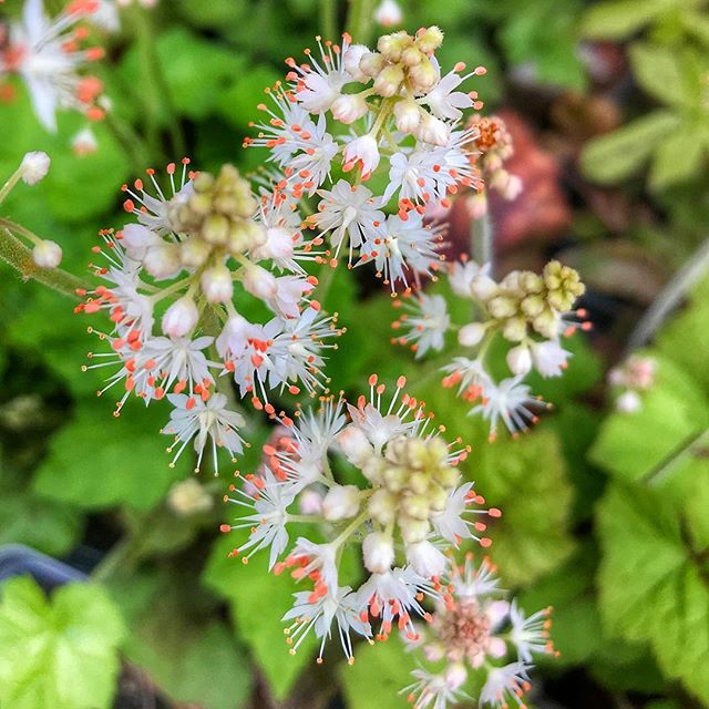 #Spring #ephemerals are emerging and blooming in the mountains and at Wildbud!  These nifty #DodecatheonMaeda, #tiarella, #aquilegiacanadensis, and #Podophyllum come out and do their thing before the forest canopy fills in.  Catch us at #growinginthemountains plant sale April 26 & 27th at the #wncagcenter to add some to your woodland #garden! 📸: @societyismyfriennd • • • #nativeplants #wnc #newgrowth #bloomingflowers #fortheloveofplants #plants #plantsofinstagram #plantstagram