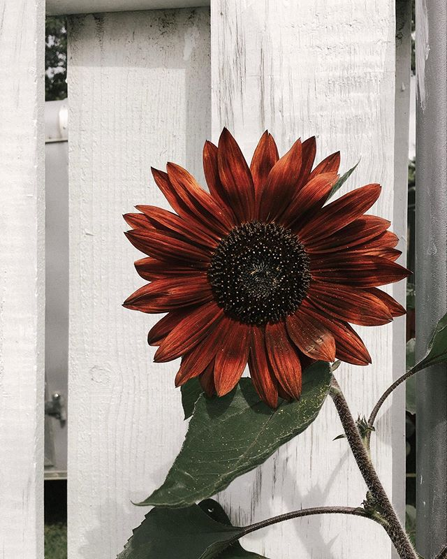 Look at this beauty! 😍 'Velvet Queen' is the most stunning sunflower ever.  If you want to grow this lovely heirloom in your garden next year, I highly recommend getting some seed from @migardener. (A packet is just 99¢ 😱)