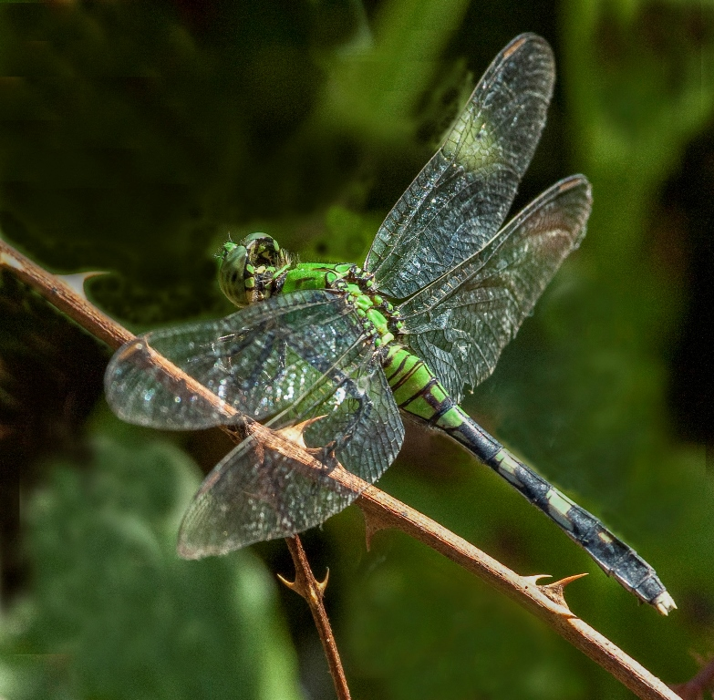 Richard_Knight_EASTERN PONDHAWK.jpg