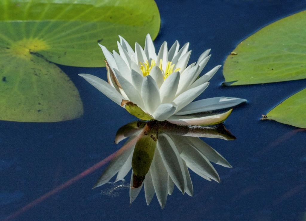 Richard_Knight_FRAGRANT WATERLILY.jpg