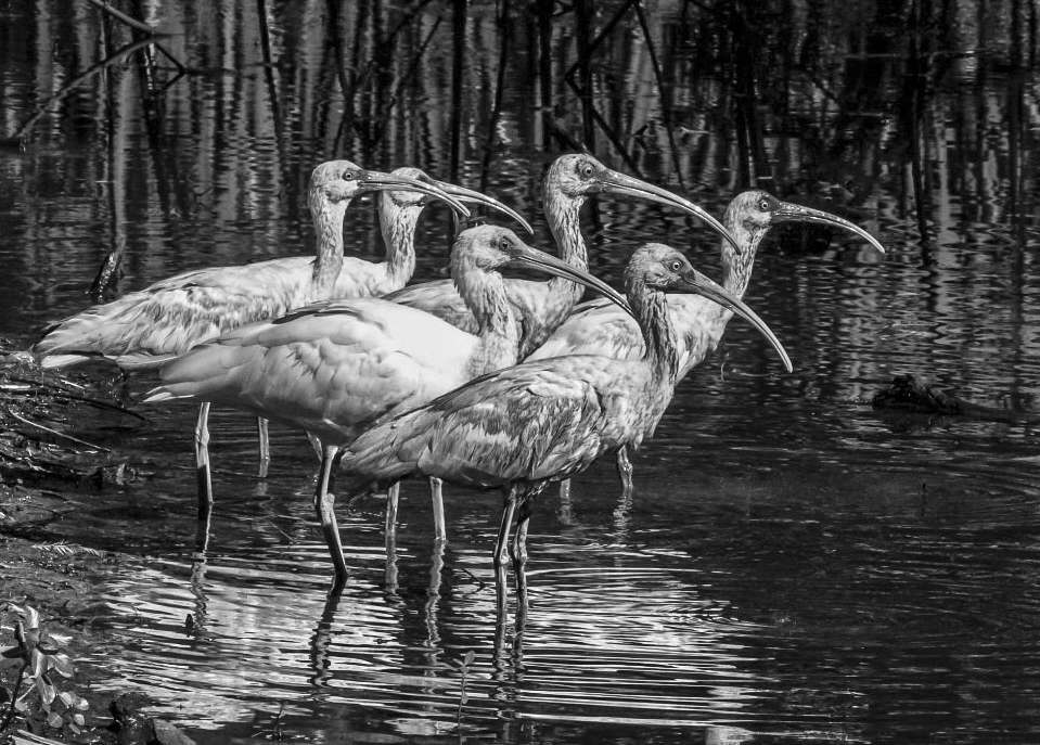 Richard_Knight_WHITE IBIS CROWD BW.jpg