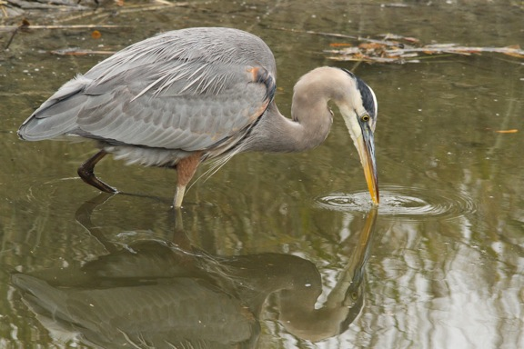 Jacquie_Law_Blue_Heron.jpg