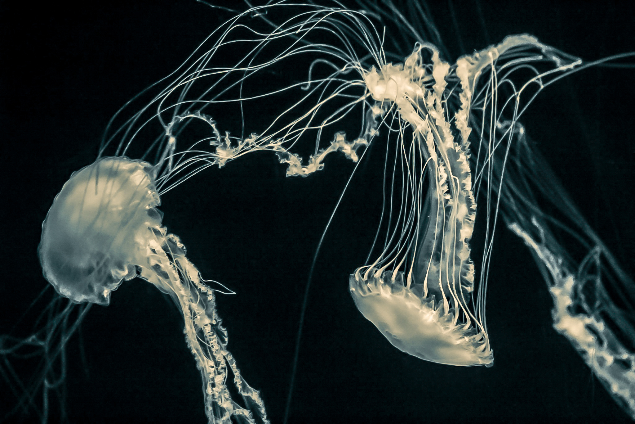 Jellies, one of my photographic obsessions