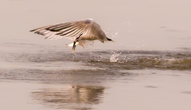 Royal Tern Breakfast