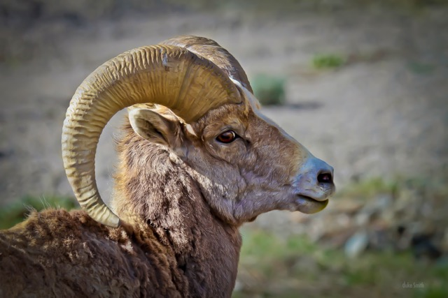 Big Horn Sheep (1 of 1).jpeg