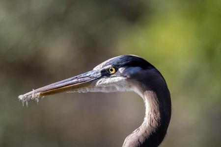 Heron head-2.jpeg