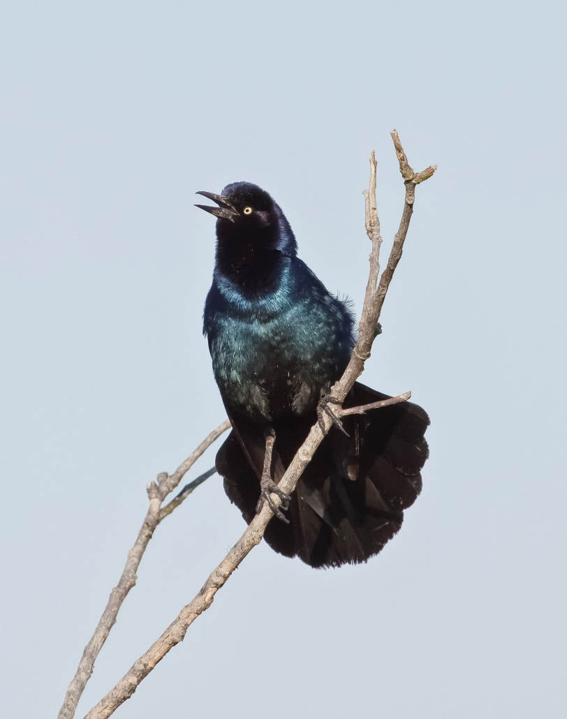 9R_Knight_Nature1_Boat tailed_Grackle.jpg