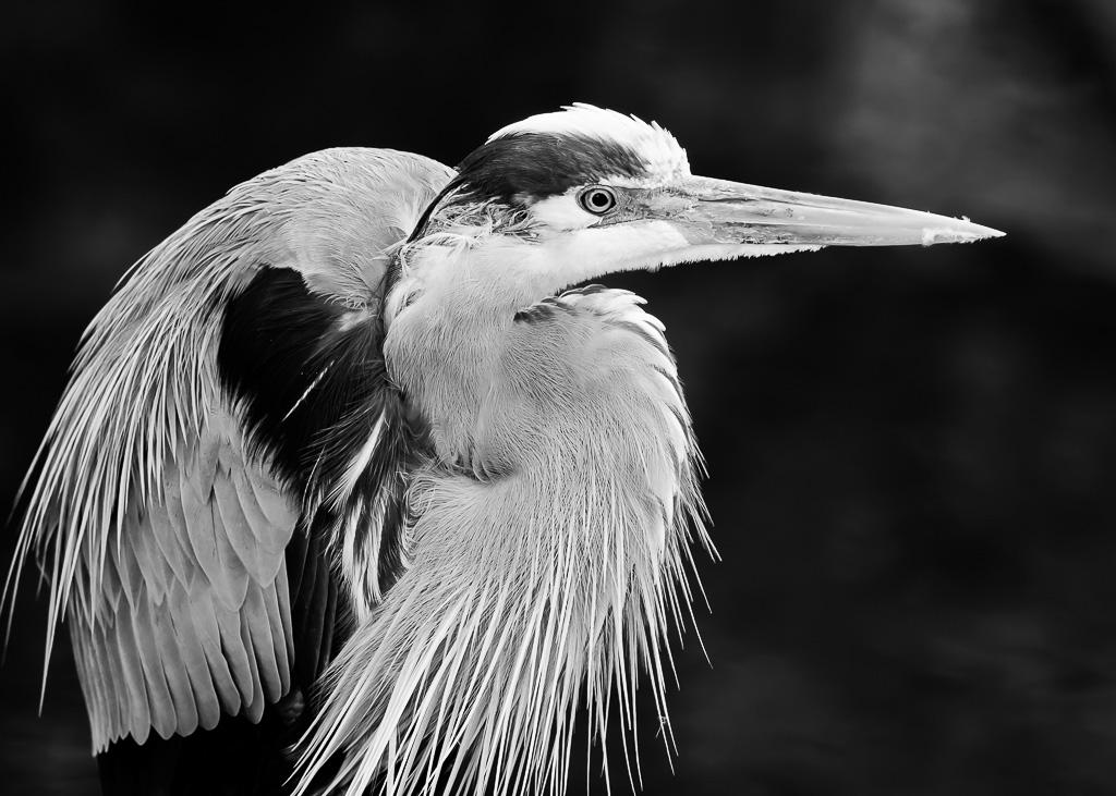 """Great Heron Portrait"" by Steve Kendall"