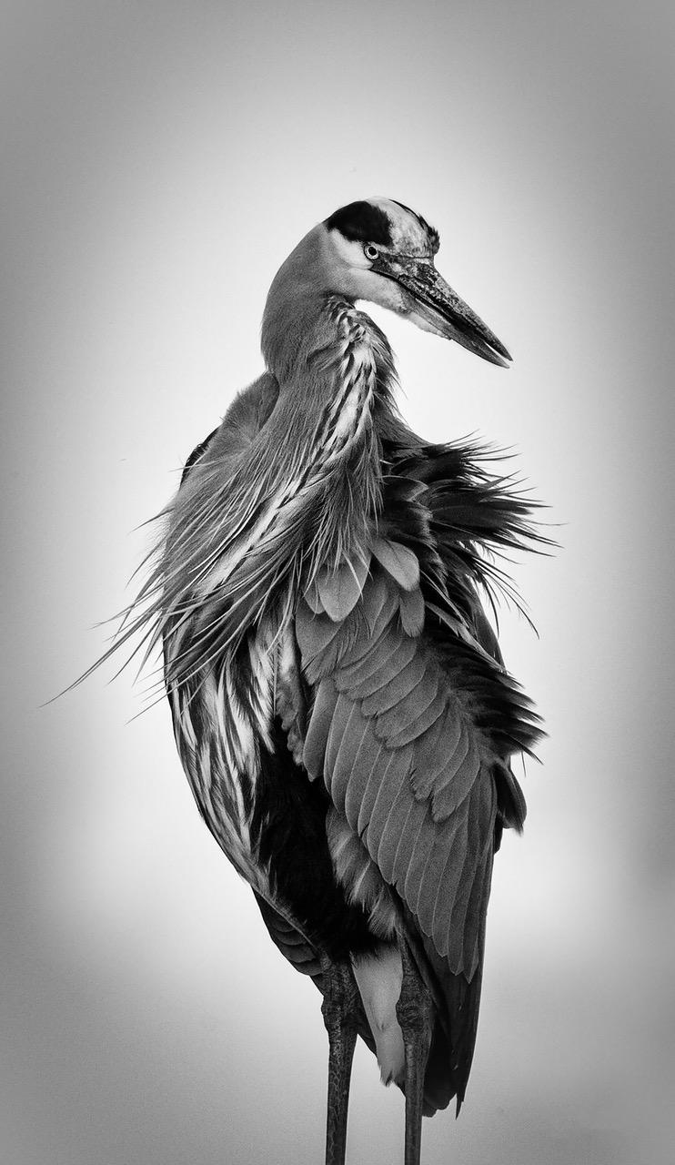 """Blue Heron"" by Duke Smith"
