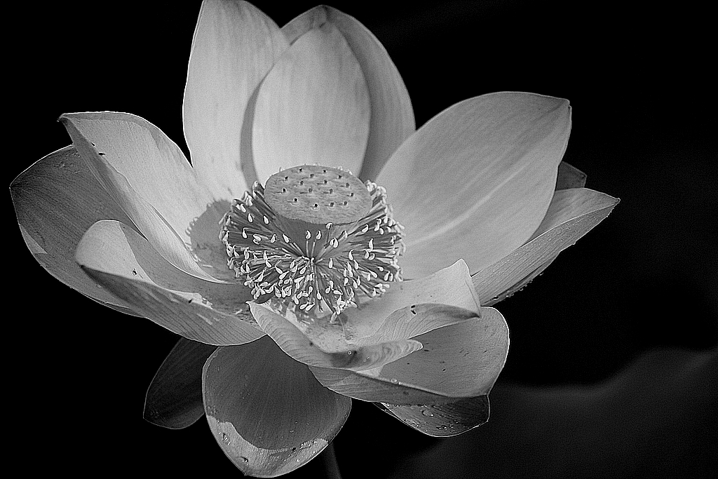 """""""Lotus Lilly"""" by Shirley Robinson"""