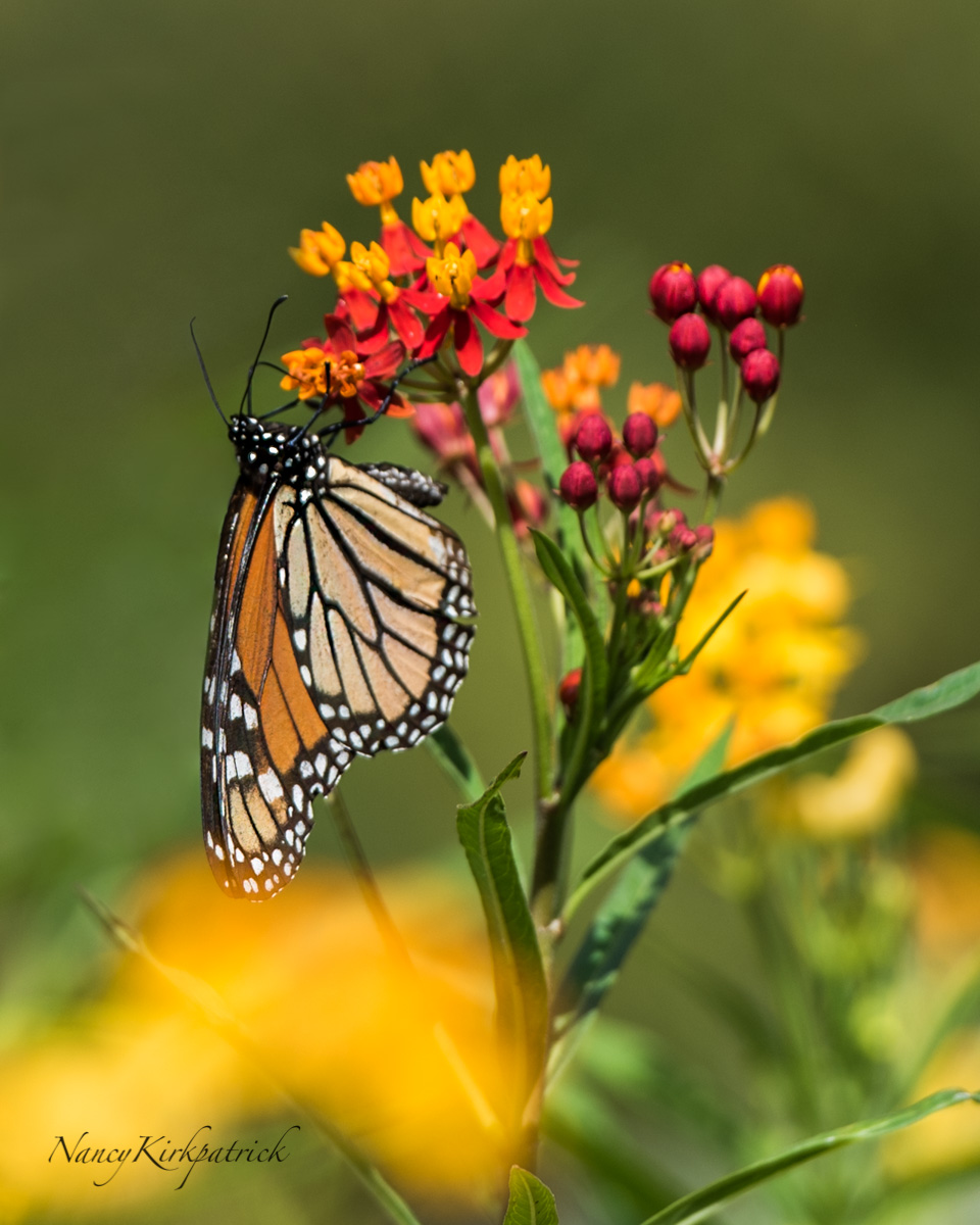Butterfly Weed-3427.jpg