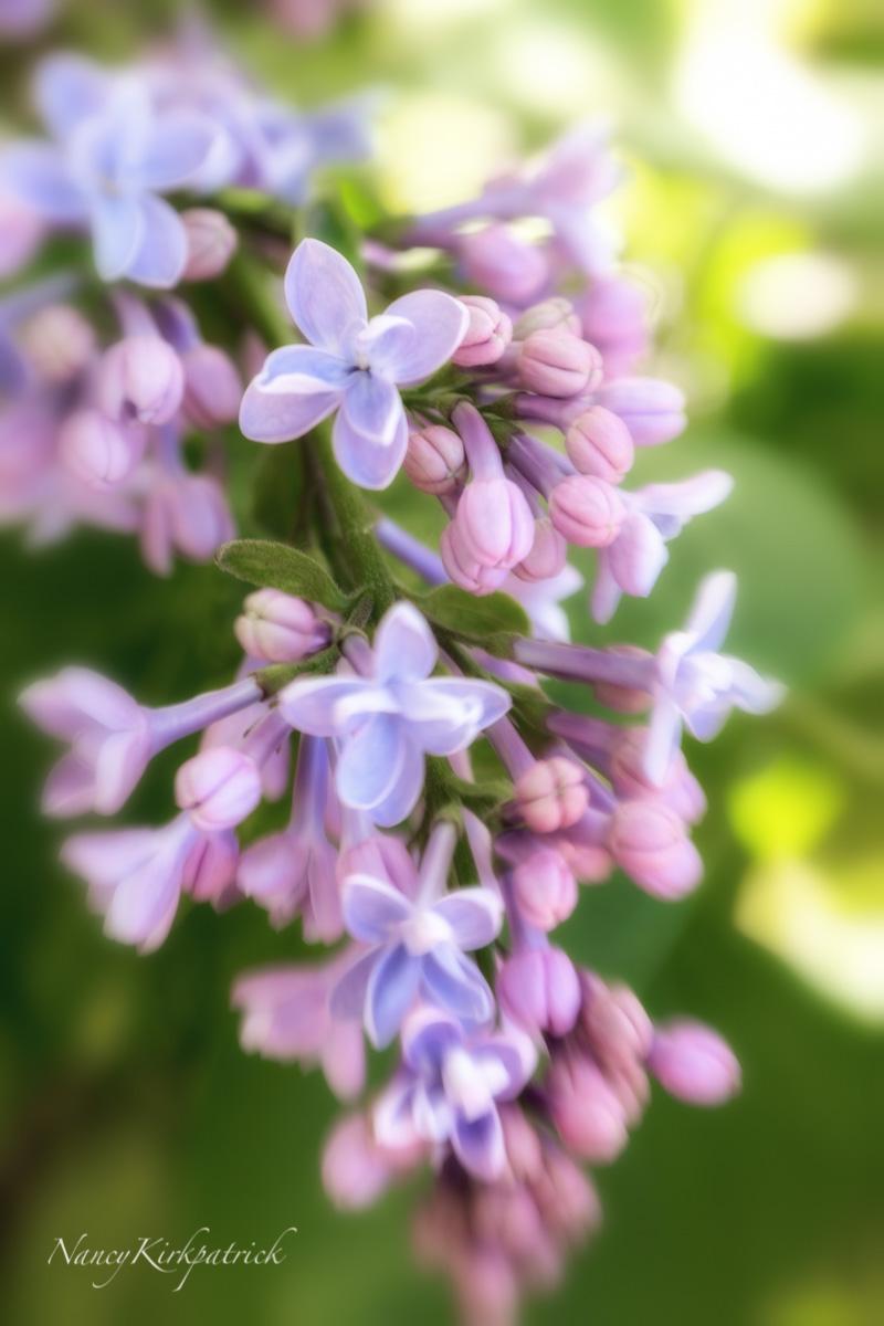 Lilac-2397-Edit.jpg