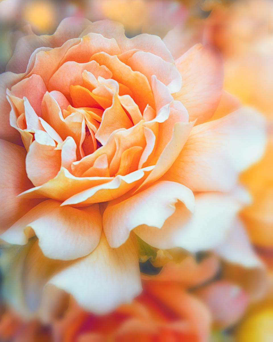 Roses-305555.jpg