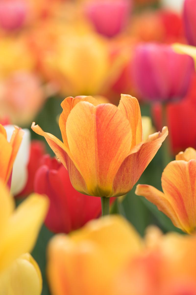 Tulip-2174.jpg